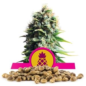 Pineapple Kush Bulkzaden