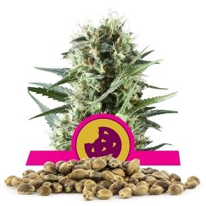 Royal Cookies Bulkzaden