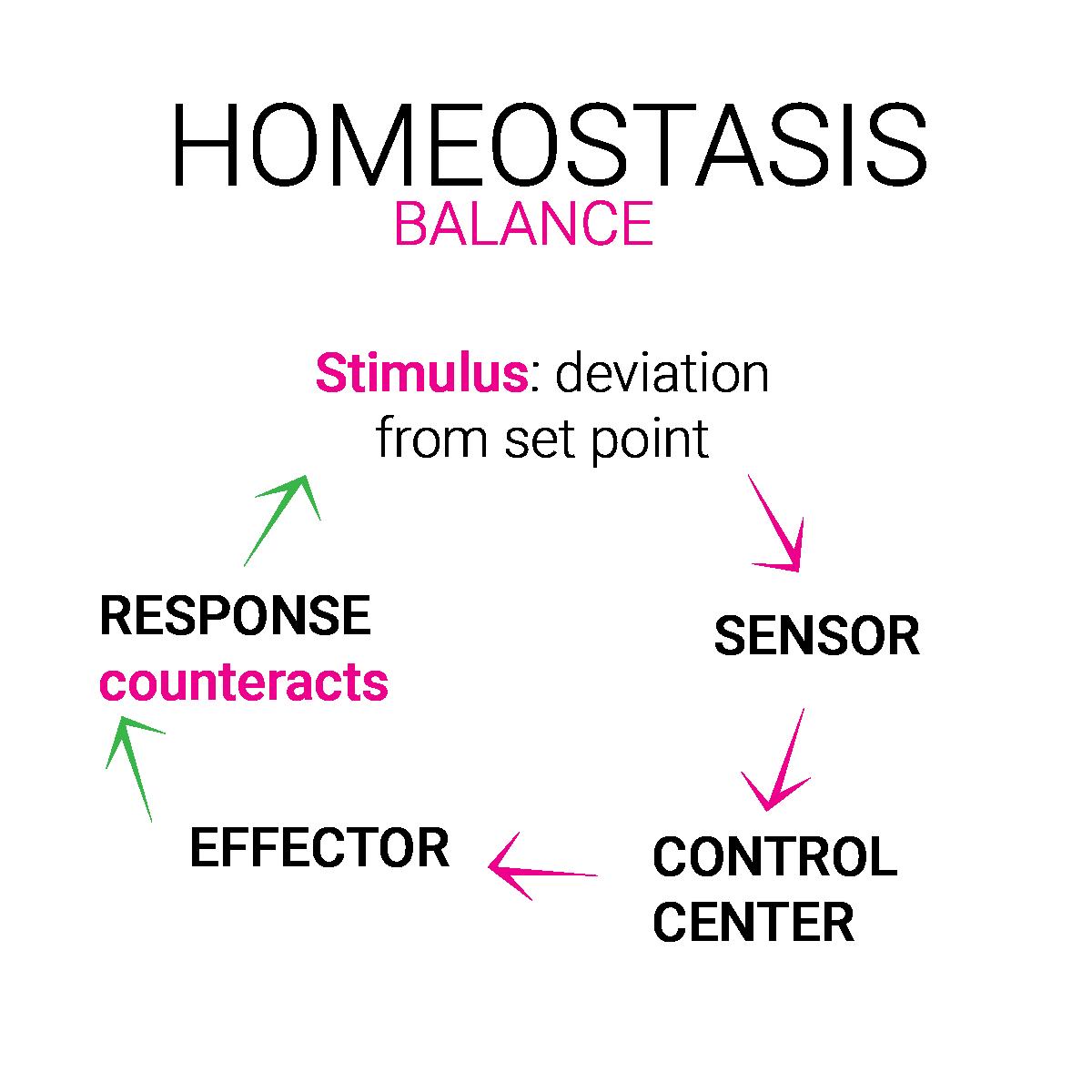 homeostase balans