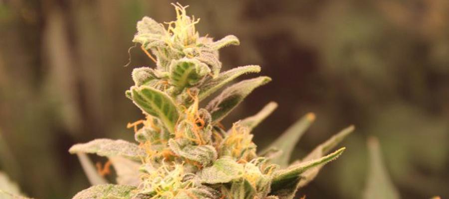 easy bud cannabis soorten voor beginners
