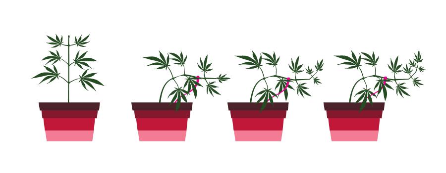 Low stress training cannabis