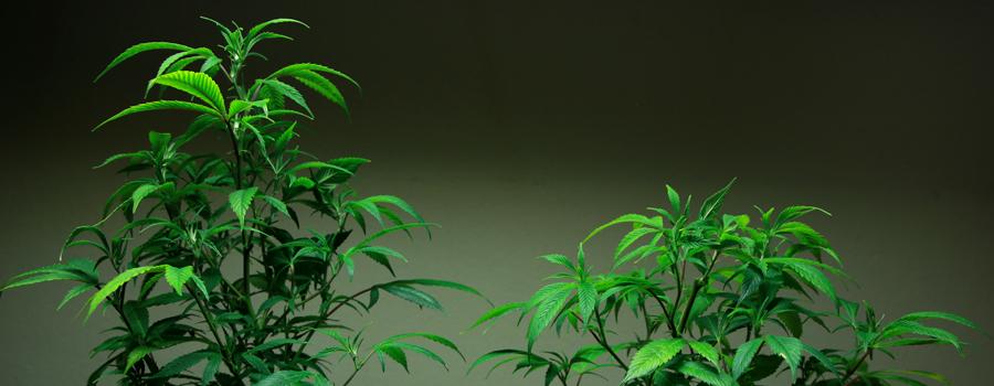 Vergelijkende topping Cannabis plant