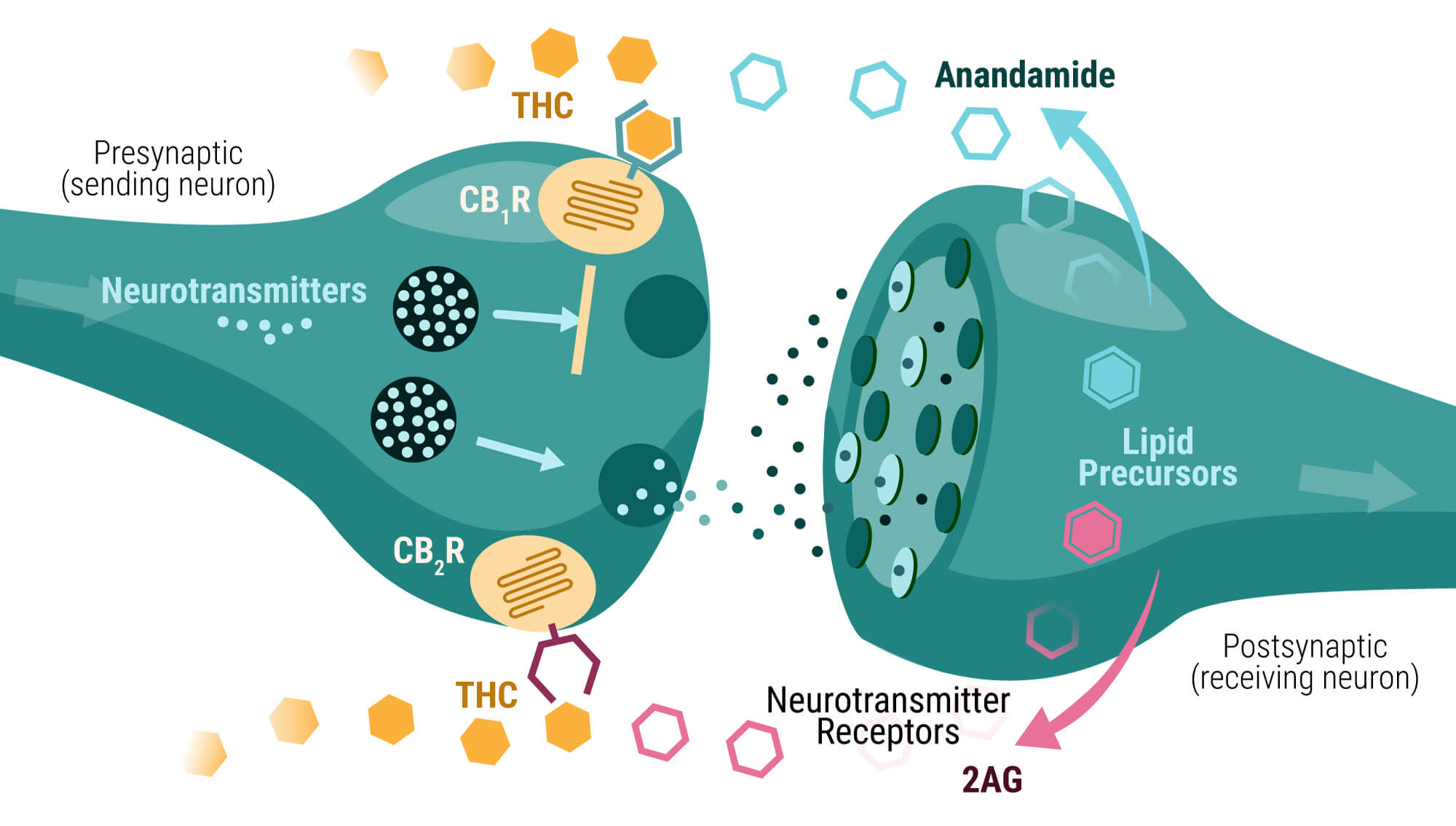 How-THC-Binds-to-Cannabinoid-Receptors-CB1