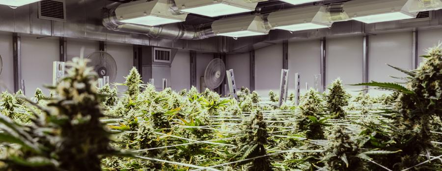 medical cannabis crop growing