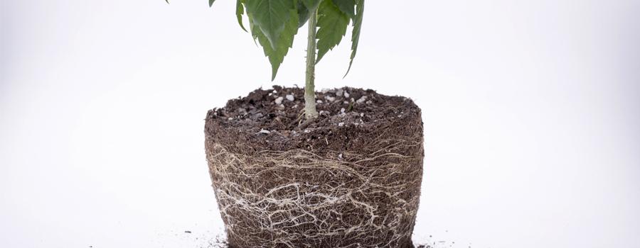 Wortels cannabis voedingsstoffen voeden drainage zuurstof planten