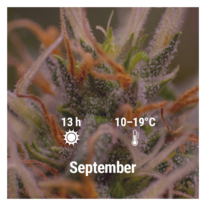How To Grow Cannabis Outdoors - Netherlands