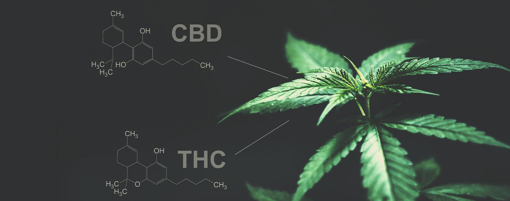 Is er in dit opzicht een verschil tussen THC en CBD?