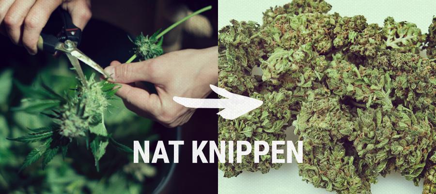 nat knippen cannabis
