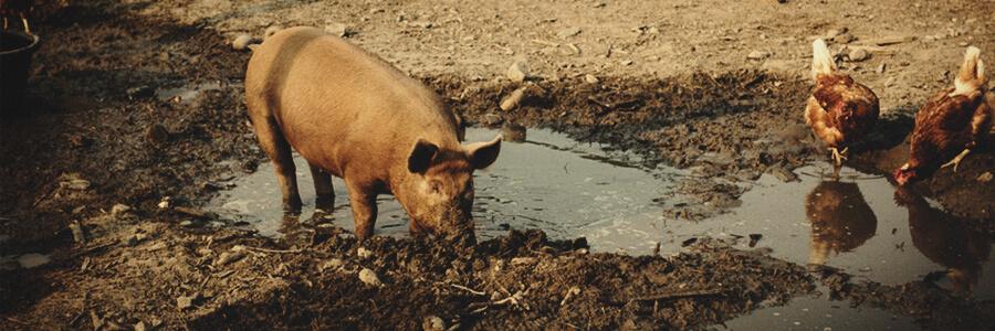 Organische compost van varkens